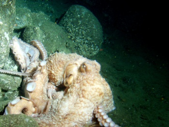 Giant Pacific Octopus by National Oceanic and Atmospheric Administration