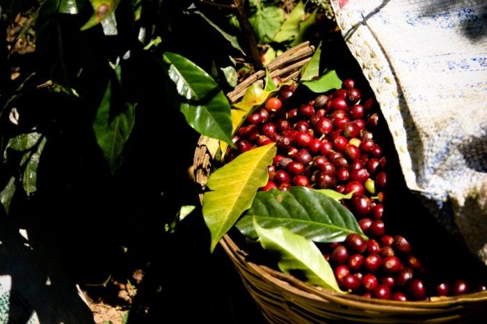 Ripe Cherries by jakeliefer