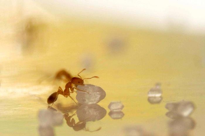 Pharaoh Ant vy Wikimedia Commons