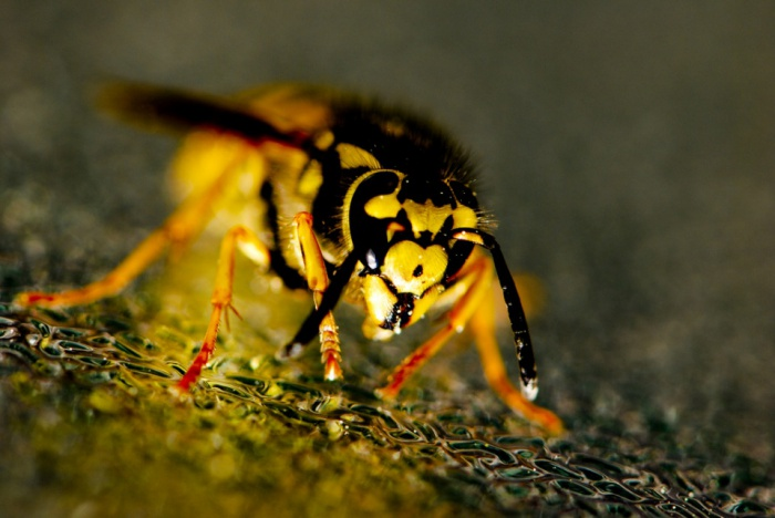 Wasp by Thomas Quine