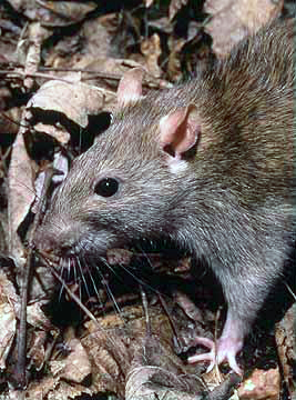 Norway Rats by Wikimedia Commons