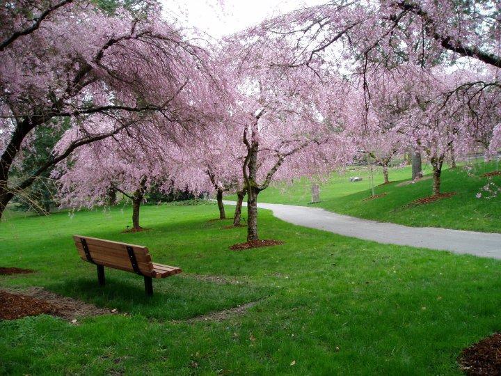 Vancouver Cherry Blossom Festival Vancouver Homes