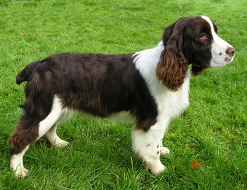 English Springer Spaniel by Wikimedia Commons