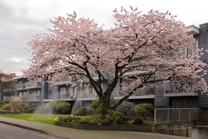 Kitsilano street with Japanese cherry trees