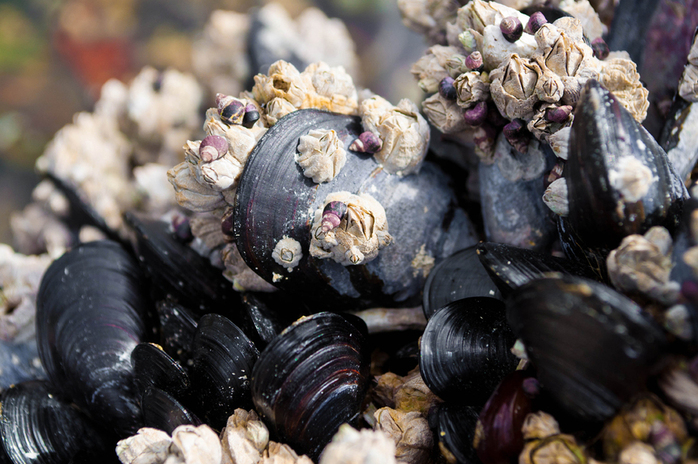 Shells of mussels and barnacles