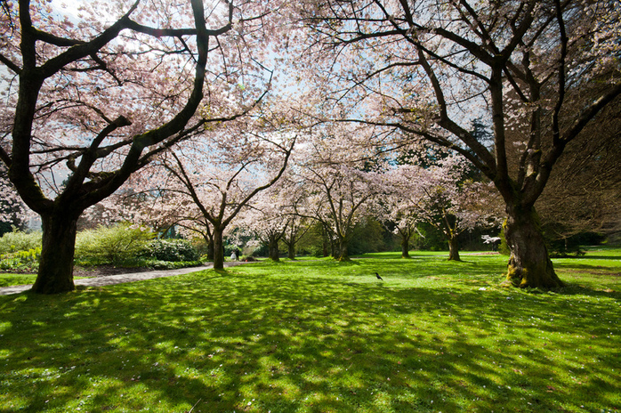 Stanley Park Vancouver Cherry Blossoms