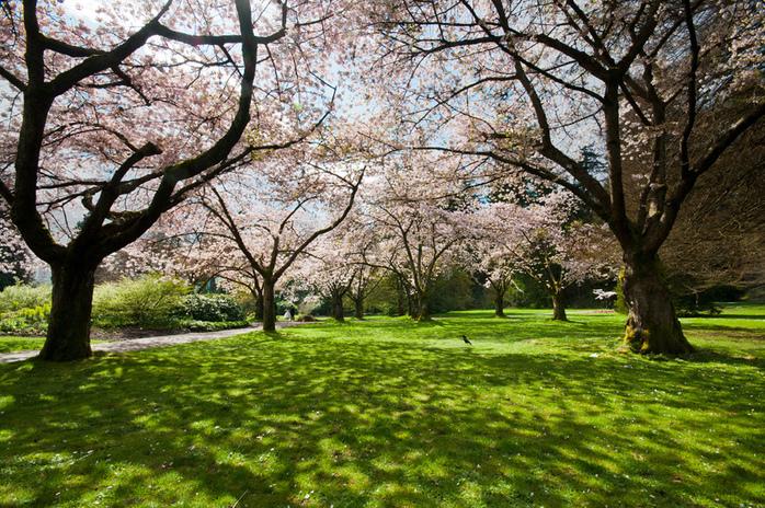 Stanley Park Vancouver Cherry Blossoms