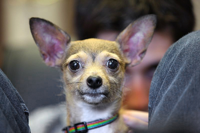 Chihuahua by Wikimedia Commons