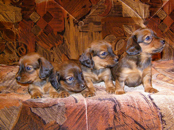 Dachshund puppies by Wikimedia Commons