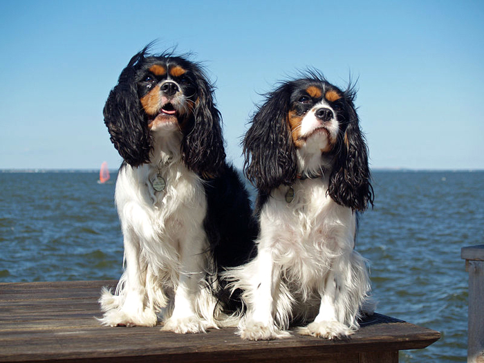 King Charles Spaniels by Wikimedia Commons