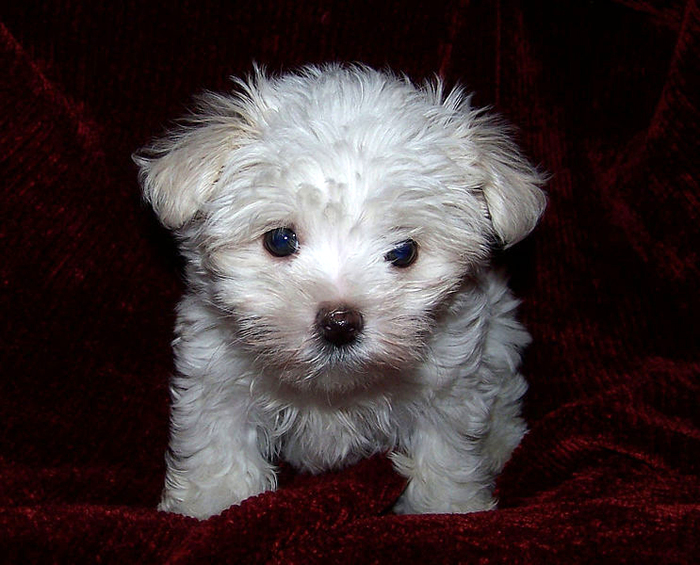 Maltese Puppy by Wikimedia Commons