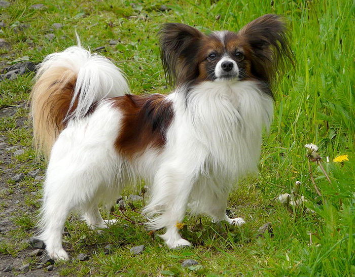 Papillon by Wikimedia Commons