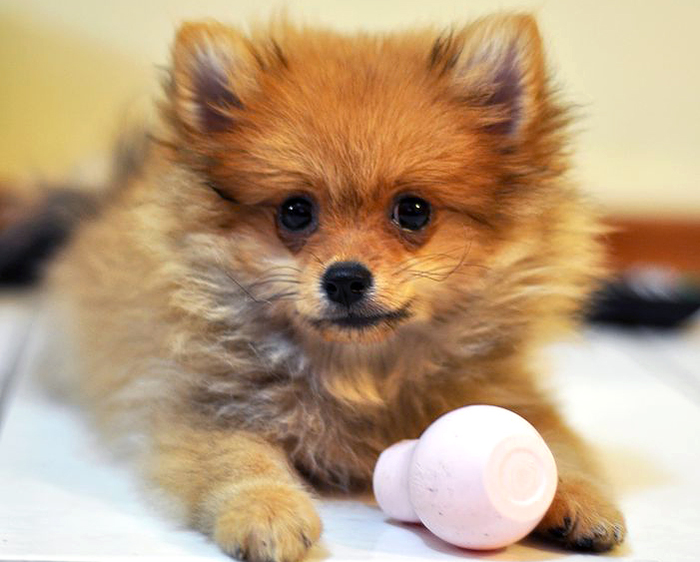 Pomeranian Puppy by Wikimedia Commons