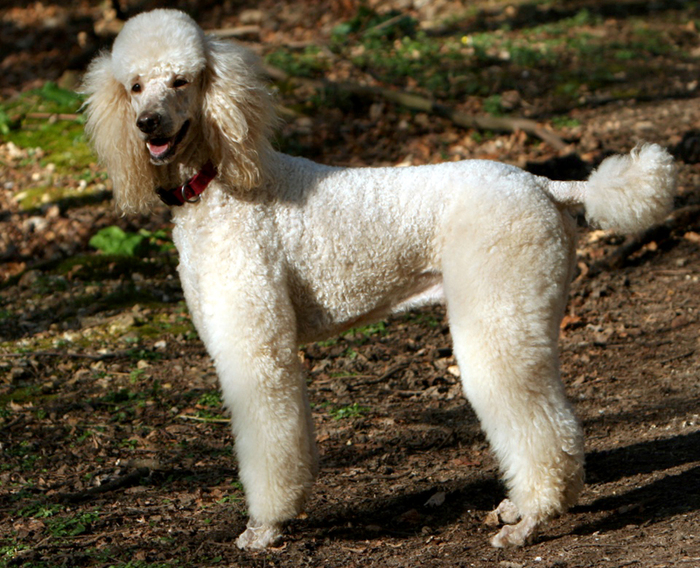 Poodle by Wikimedia Commons