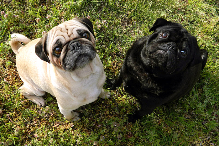 Pugs by Wikimedia Commons