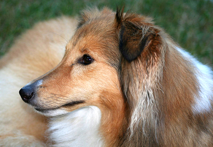 Shanti shetland sheepdog by Wikimedia Commons