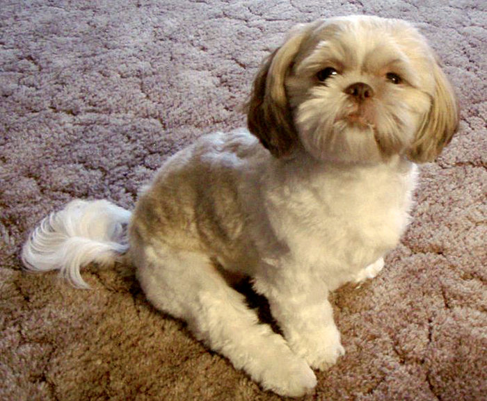 Shih Tzu by Wikimedia Commons