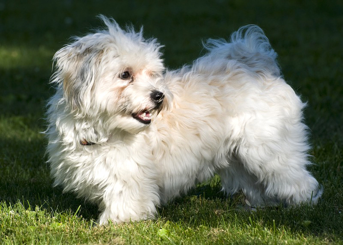 The Havanese by Wikimedia Commons