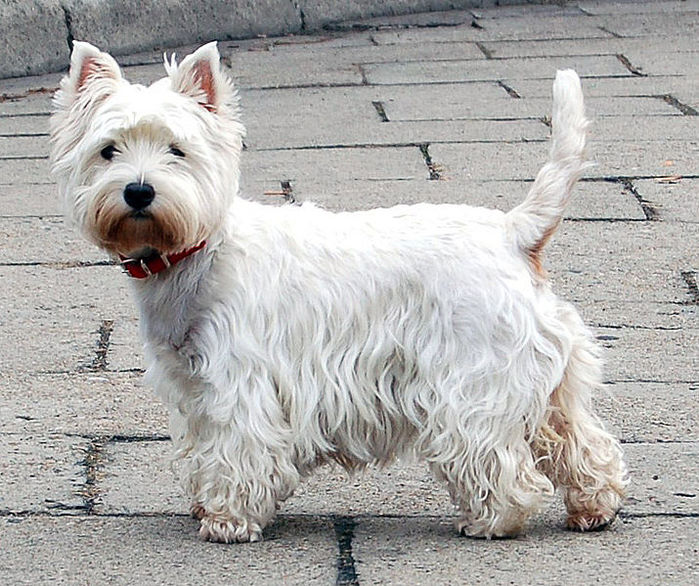 West Highland White Terrier by Wikimedia Commons