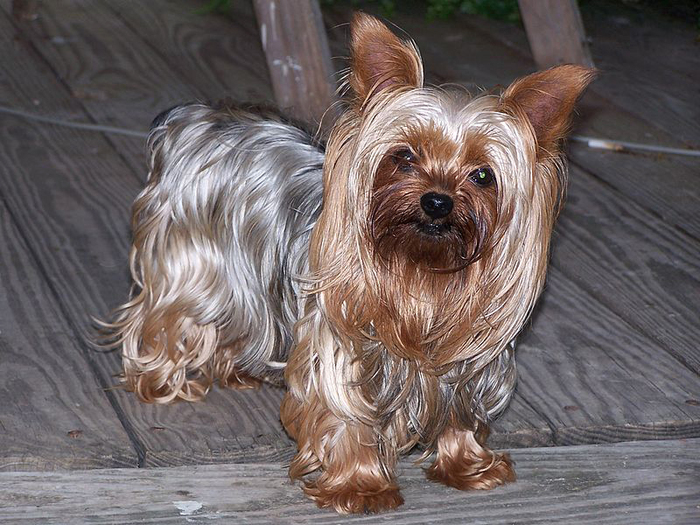 Yorkshire Terrier by Wikimedia Commons