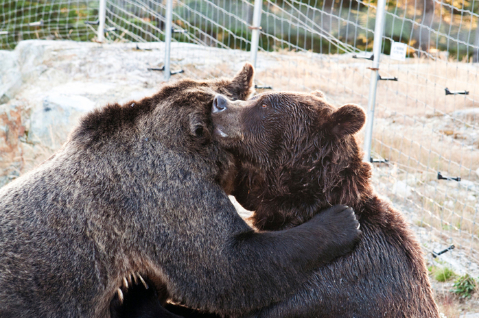 Grizzly Bears on Grouse Mountain