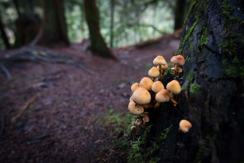 Mushrooms Conifer Tuft Lynn Canyon Park