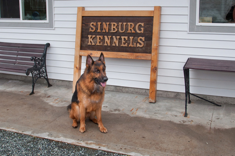German Shepherd in Sinburg Kennels Boarding and Training Resort by Kevin Eng
