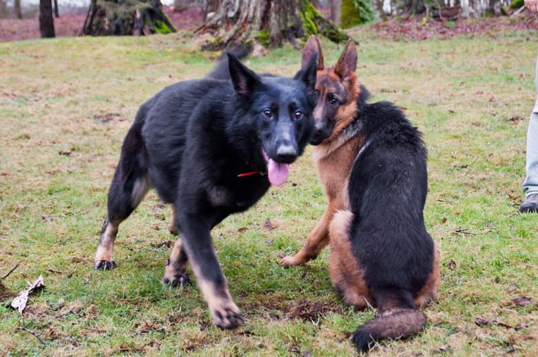 German Shepherds in Sinburg Kennels Boarding and Training Resort