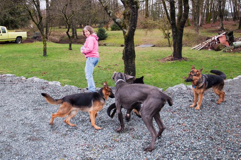 Karen taking the dogs for a walk Sinburg Kennels