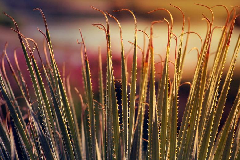 Aloe Vera Plant by Jonathan Silverberg