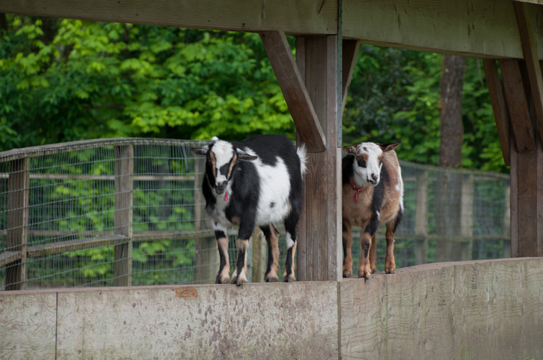 7 Goats are just some of the animals you can meet