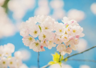 Cherry Blossom of Vancity