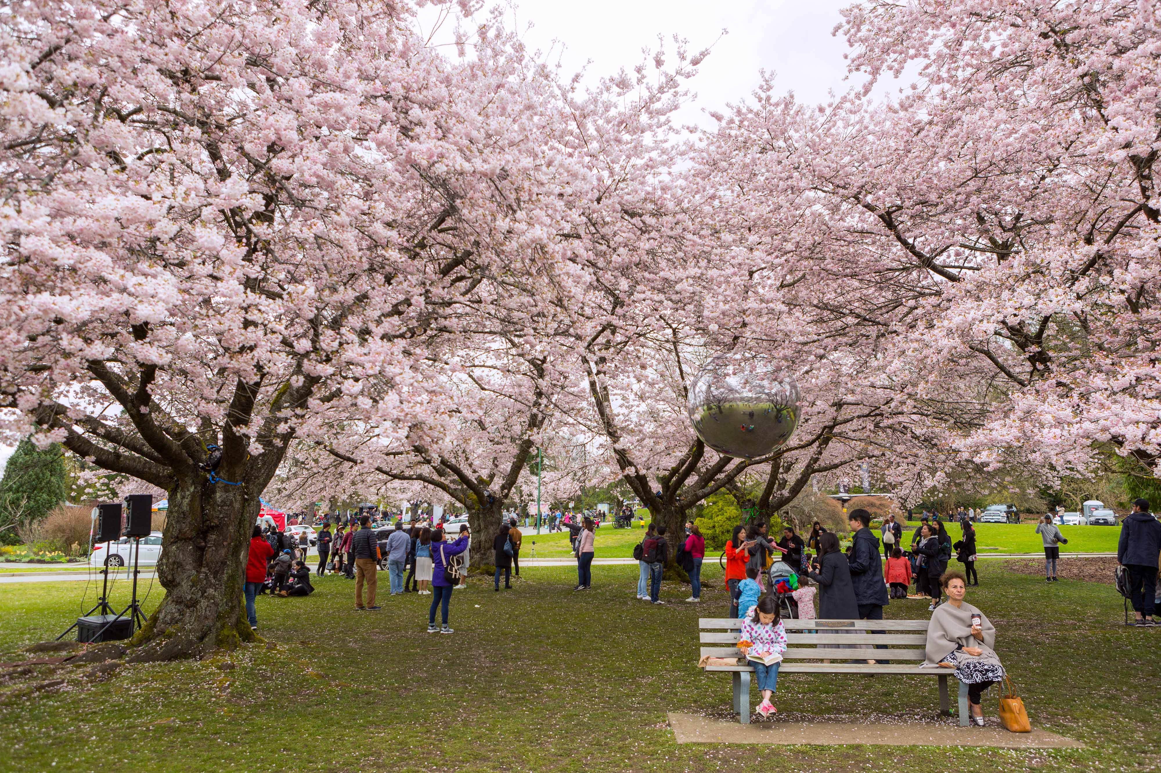 Image result for richmond cherry blossom festival