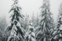 A gray bird on a white snowy tree