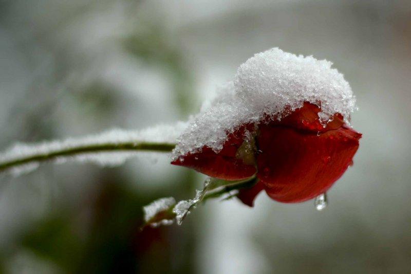 Rose in snow